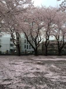 桜 松が枝公園①