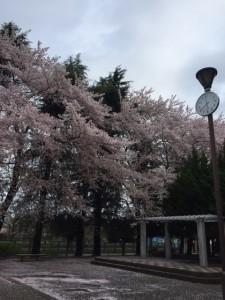 桜 松が枝公園②